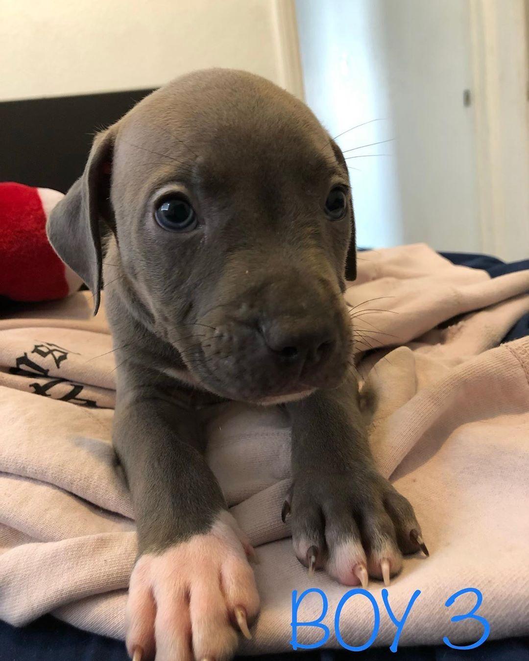 How To Train A Pitbull Puppy Pitbull Puppy Puppies Pitbull