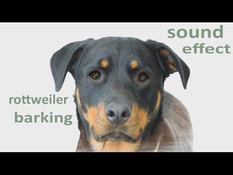 The Animal Sounds Rottweiler Barks Growls Snarls Sound Effect Animation Rottweiler Dog Rottweiler Dog Breeds