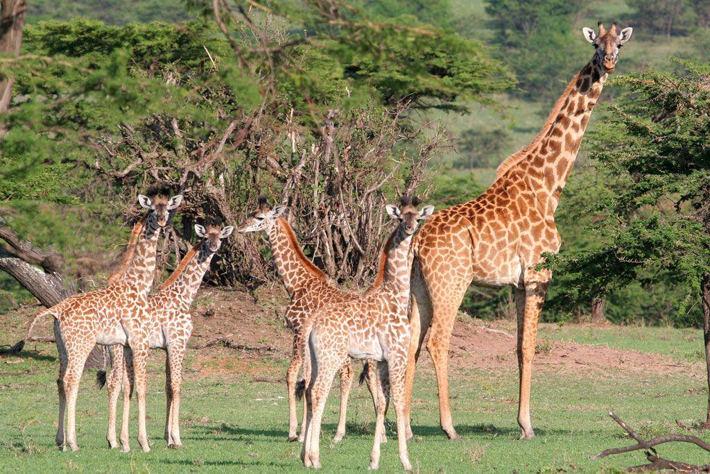 Tanzania Giraffe, The mighty jungle, Wild cats