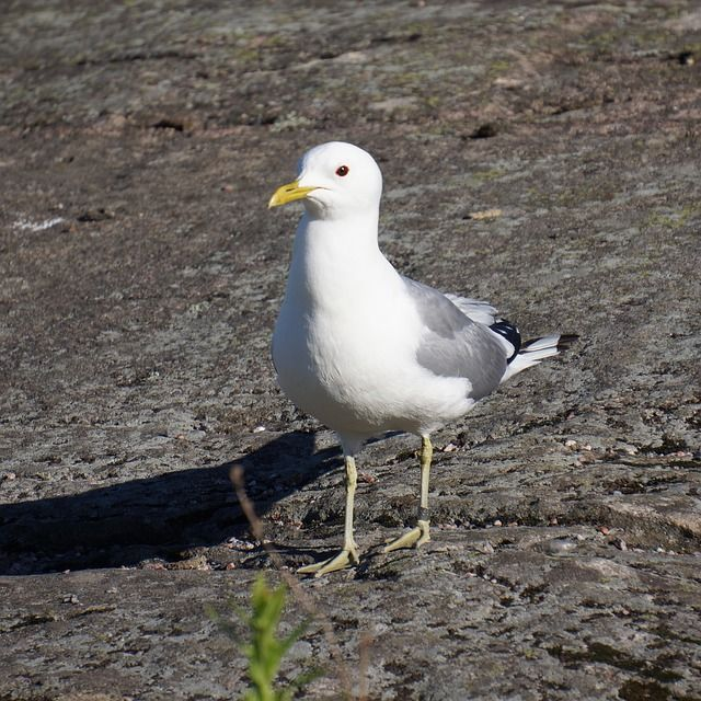 Free Image on Pixabay - Bird, Ringed, Seagull, Mew | Image ...