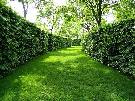 Tuin Hagen Soorten : Hagen in de tuin bieden vele voordelen zoals privacy wind breken