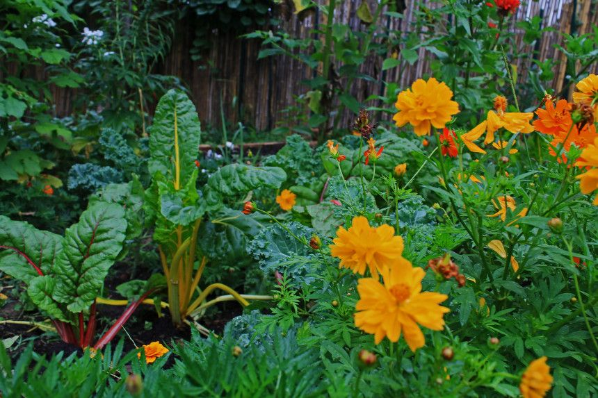 Chard And Calendula Companion Planting Edible Garden Plants 400 x 300