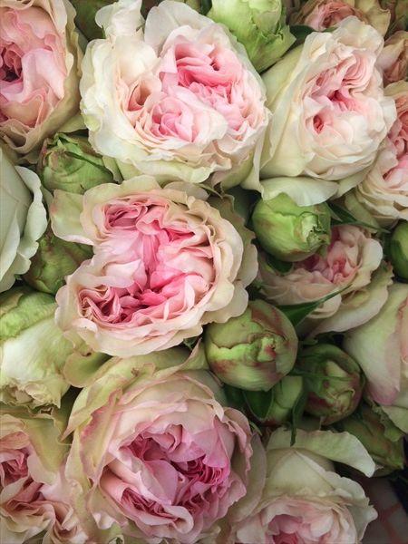 Garden Rose Pashmina Garden Rose Roses Flowers By Category