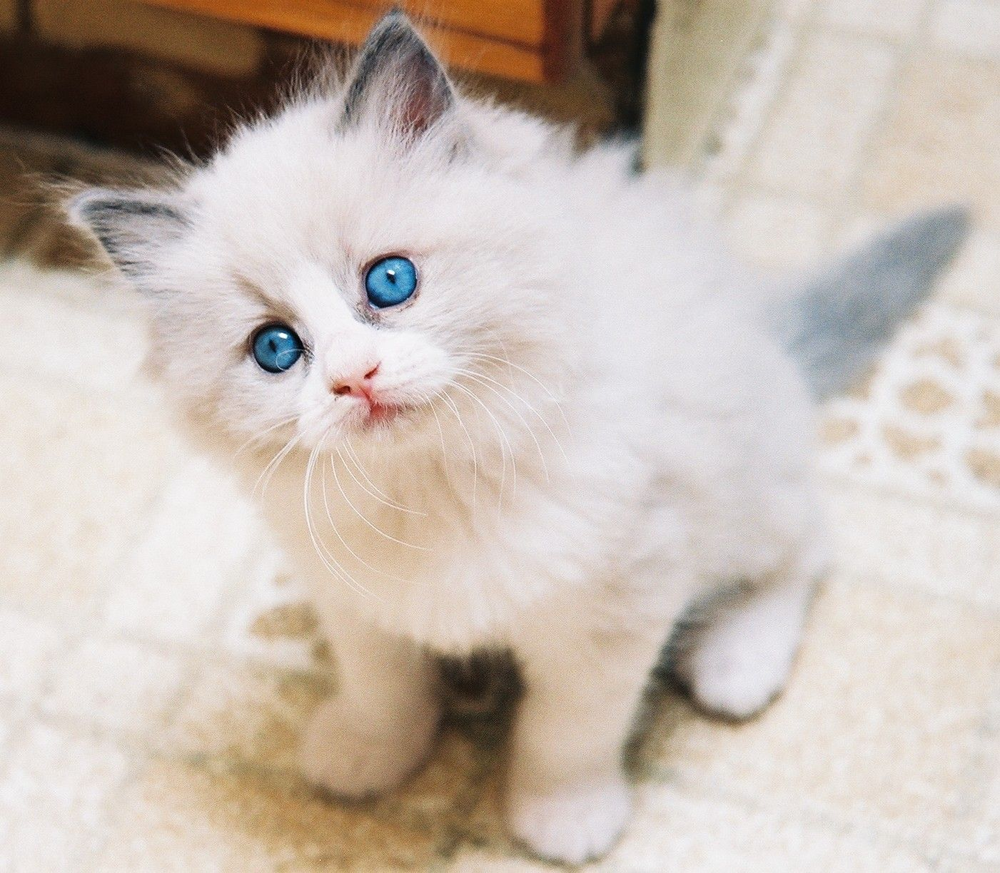 Rag Doll Cat Kittens A Average Kitten Will Ask More Questions