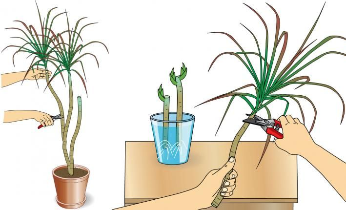 drachenbaum pflege und vermehrung drachenbaum beschnitten und pflanzen. Black Bedroom Furniture Sets. Home Design Ideas