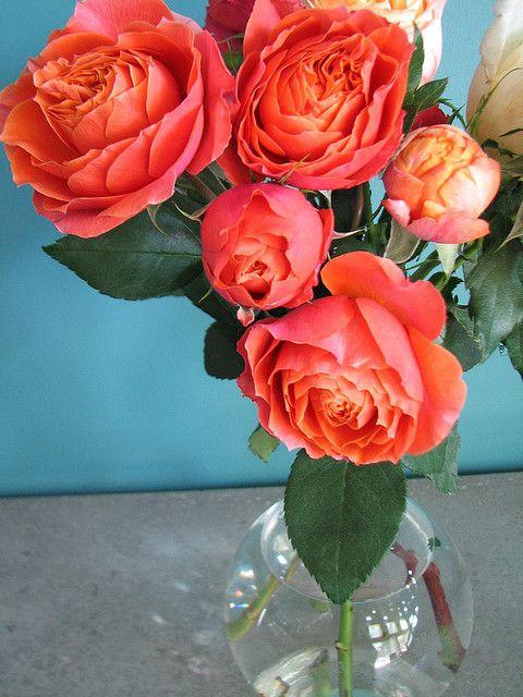 Orange Garden Rose: Garden, Rose, Flowers