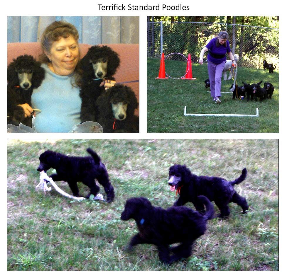 Terrifick Silver Standard Poodle Puppies Raised In A Conducive