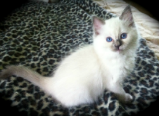 Ragdoll Cats For Sale New York City New Jersey Long Island Ragdoll Cats For Sale Ragdoll Cat Kitten For Sale