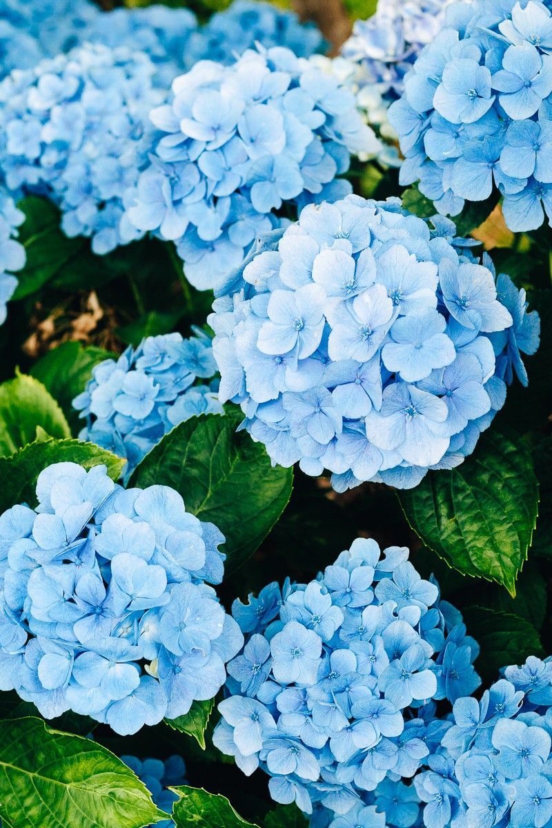 How To Care For Hydrangeas 5 Things You Might Not Know Hydrangea Care Beautiful Hydrangeas Hydrangea Landscaping