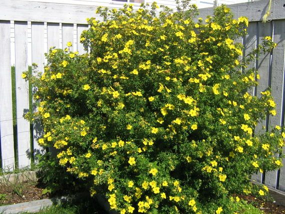 Potentilla shrub landscaping pinterest shrub potentilla shrub shrubslandscapingflowers mightylinksfo
