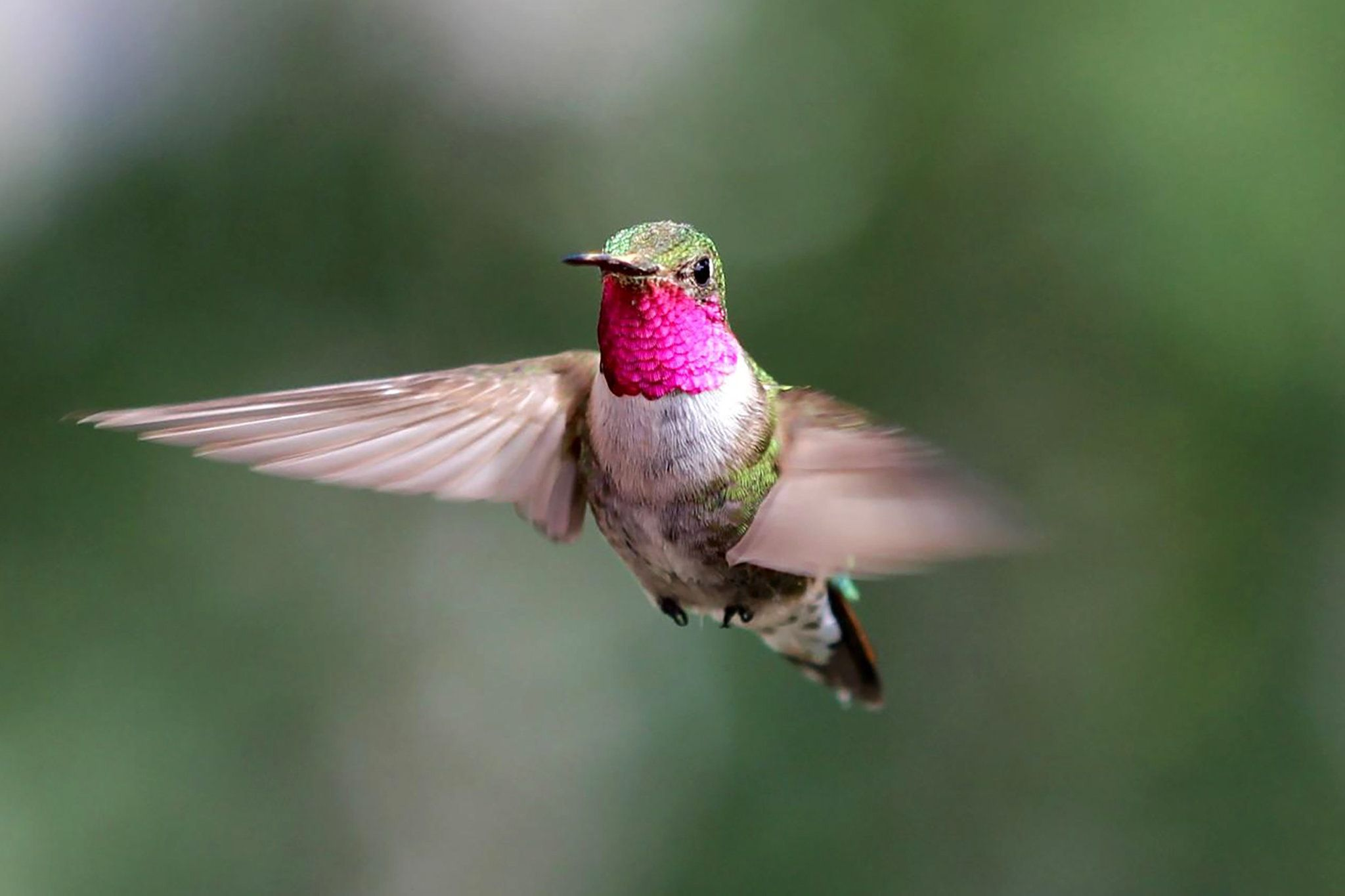 Hummingbirds Navigate an Ultraviolet World We Never See