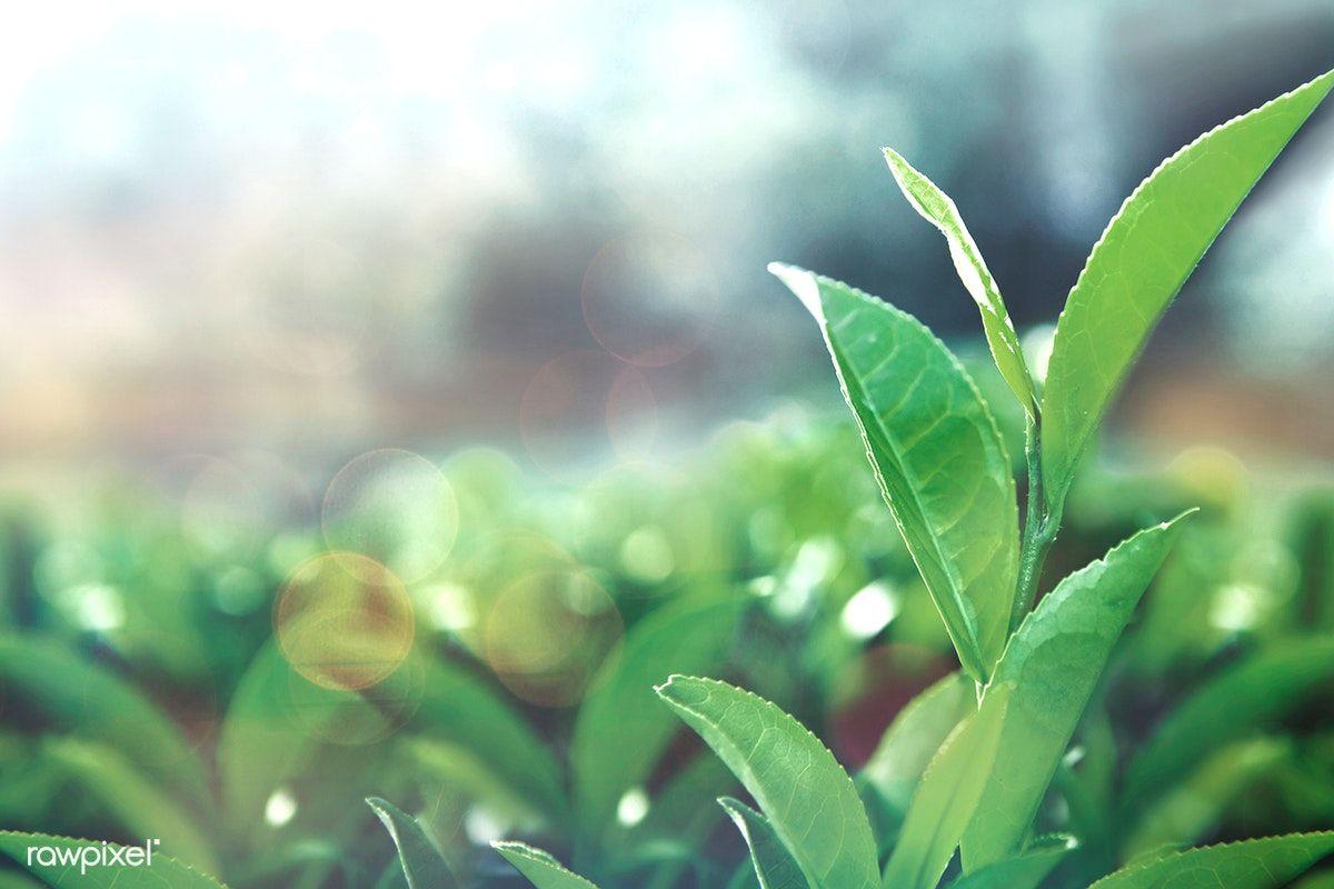 Green Tea Leaves In A Field Free Image By Rawpixel Com Busbus Tea Leaves Healthy Teas Green Tea