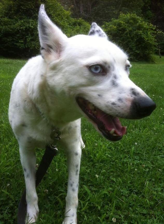 Adopt Kiera On Petfinder Funny Animals Animals Cattle Dog