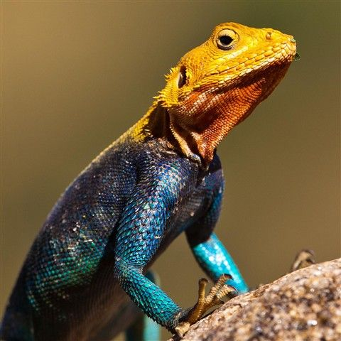 Colorful Pet Lizards Colorful Agama ...