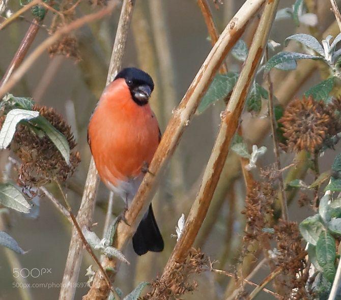 Popular on 500px : Male Bullfinch by RogerCrocker