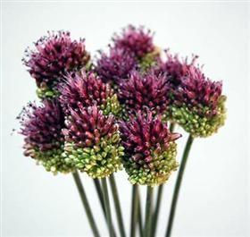 Mayesh Flower Library Allium Bullet Allium Flowers Bulb Flowers Types Of Flowers
