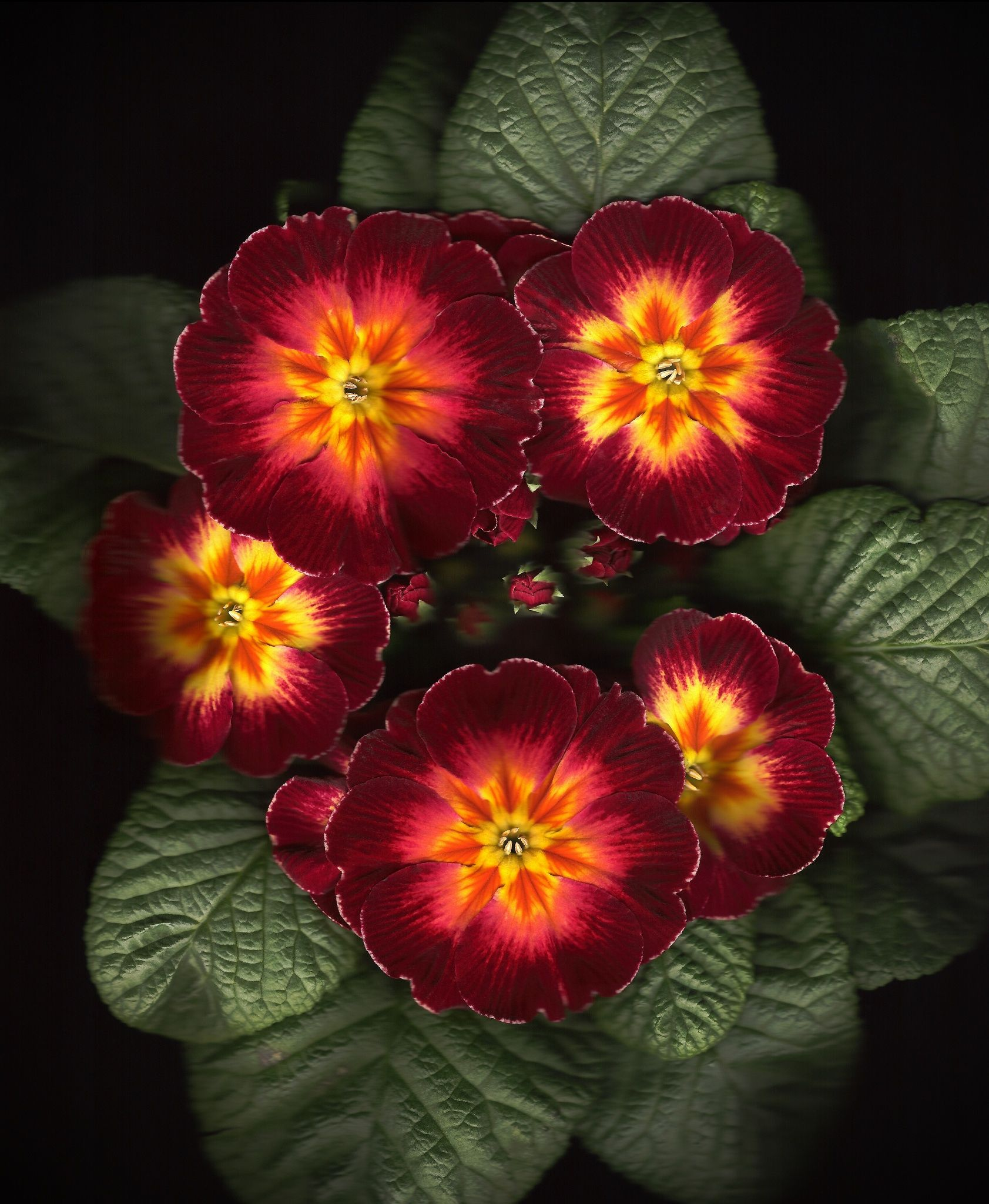 Polyanthus by Brian Haslam on 500px