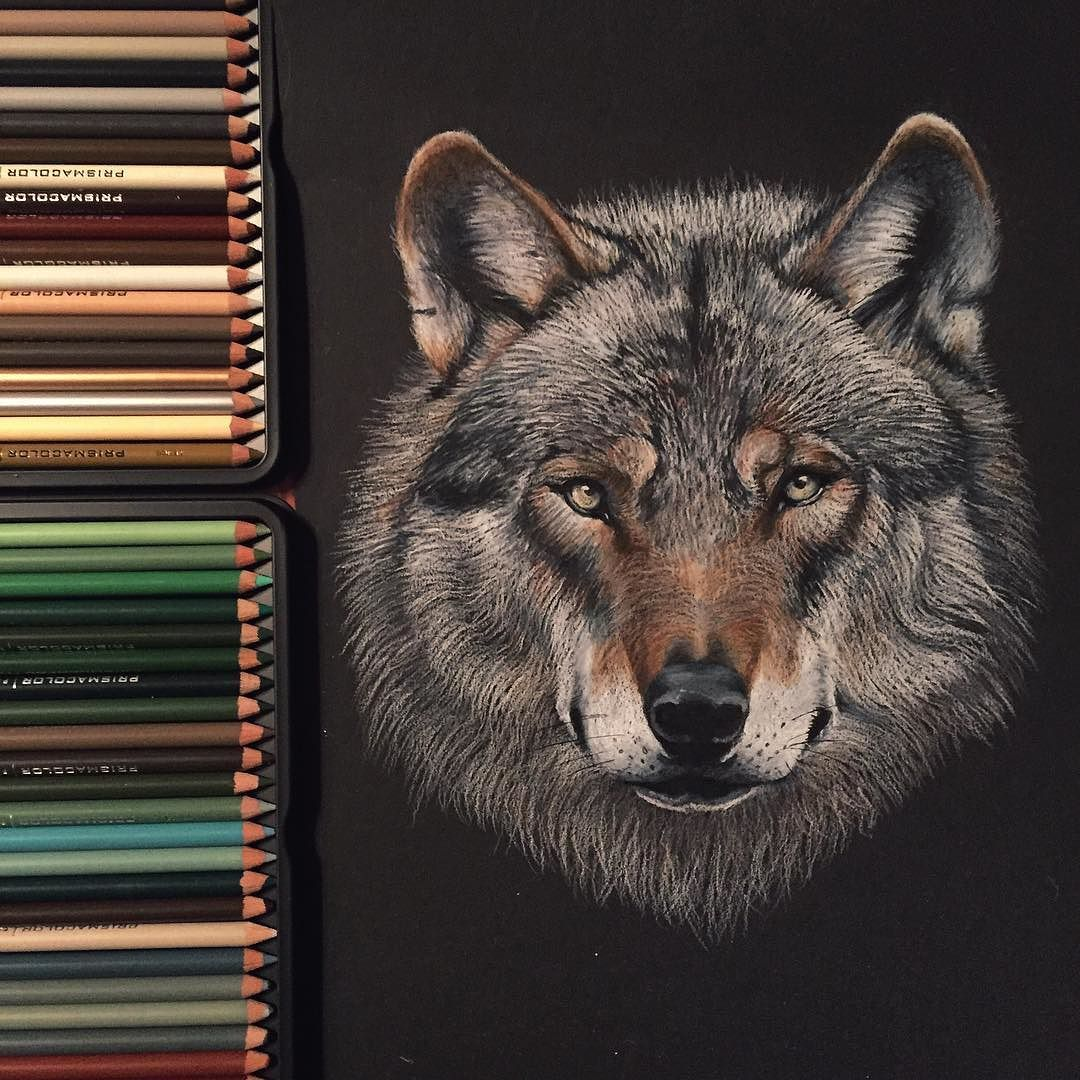Drawings Of Wolves: Wolf Drawing Made With Prismacolor Pencils On Black Paper