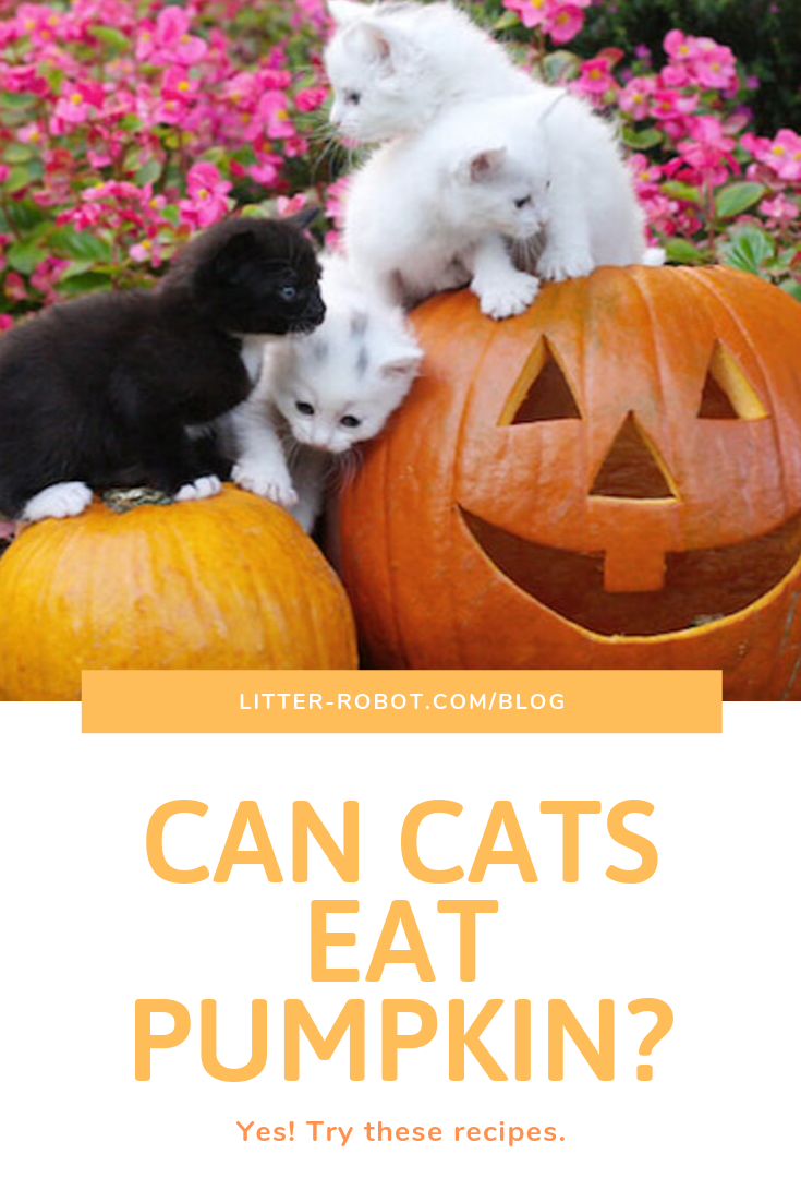 Can Cats Eat Pumpkin Yes Try These Recipes Can Cats Eat Pumpkin Tuna Cat Treats Pumpkin For Cats