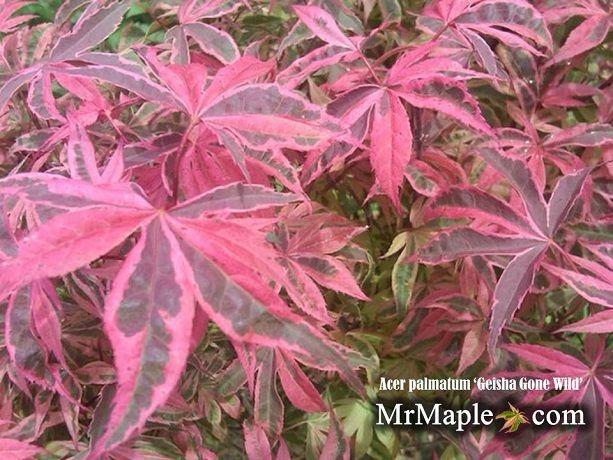 Japanese Maple GEISHA RARE!!