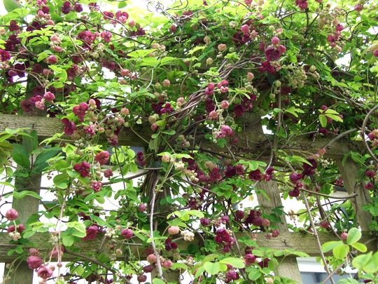 vine shown on trellis fiveleaf akebia akebia quinata. Black Bedroom Furniture Sets. Home Design Ideas