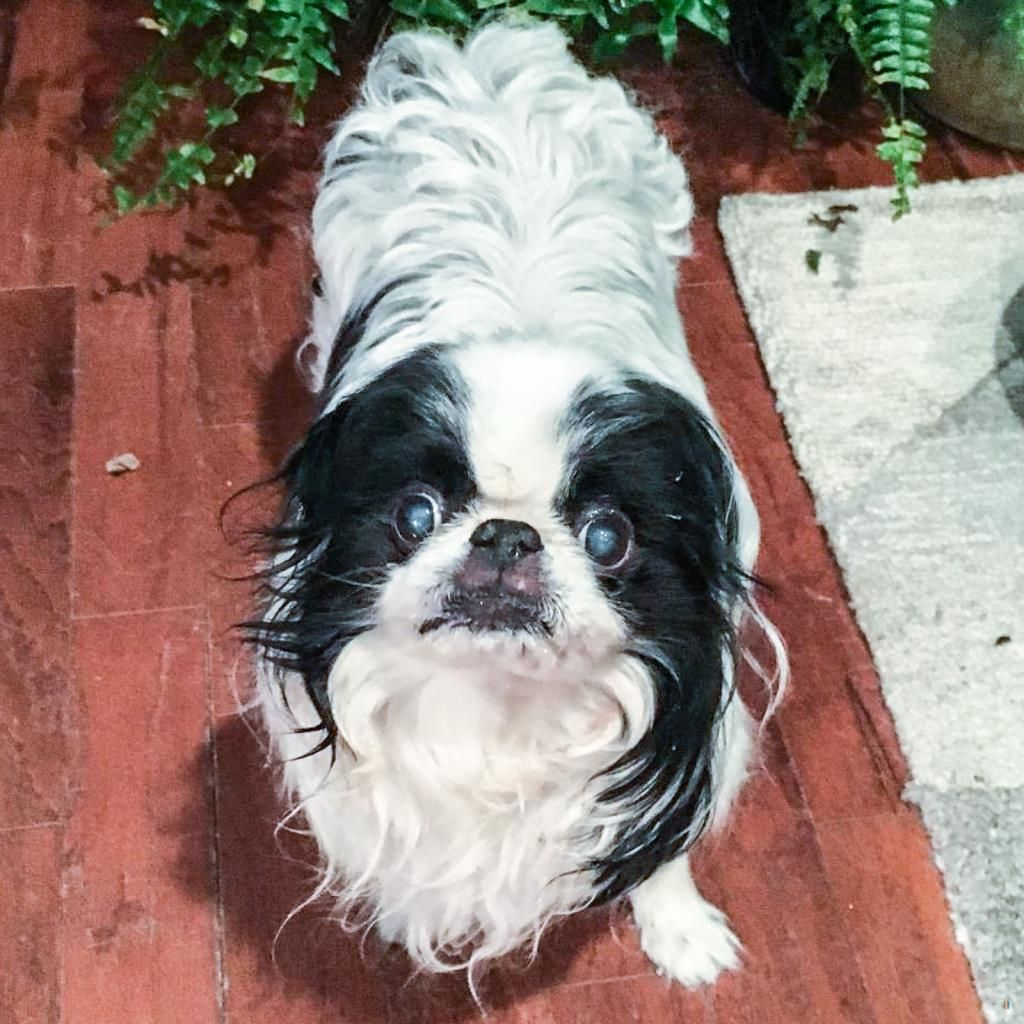 Back Home Dog Japanese Chin Loveland, OH, USA 45140