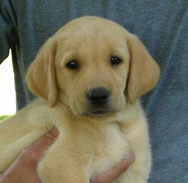 Labrador Retriever puppy for sale in SACRED HEART, MN  ADN
