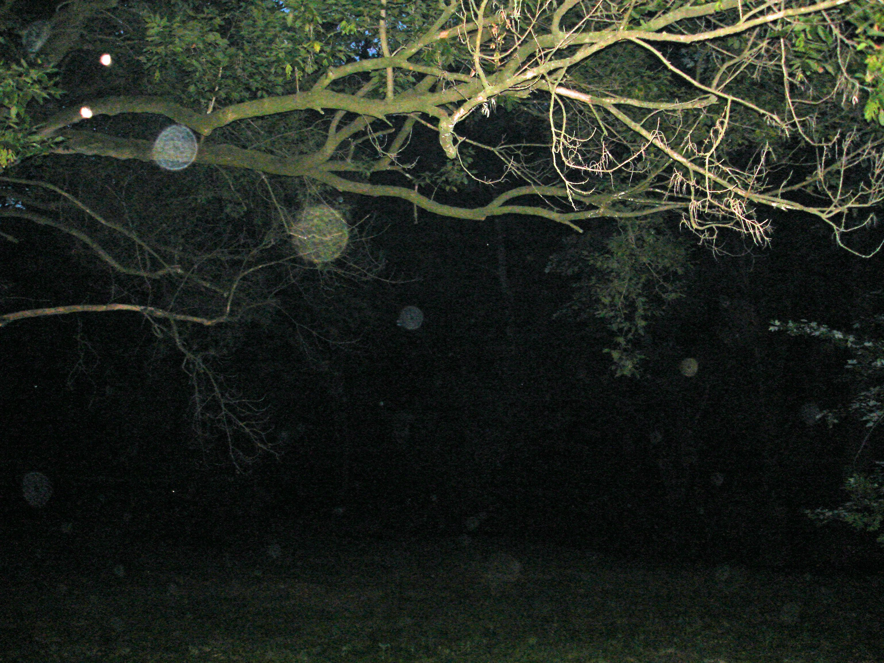 Our tree is busy with orbs and light anomalies. Aug. 8, 2012, Joanne Harper