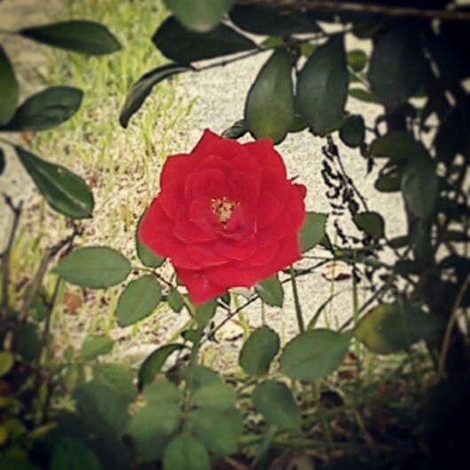 Outra rosa, cor vermelha! #patriciachen