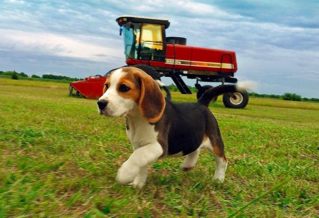 Good Breeder K9kompanions Beagle Puppy Beagle Best Dogs