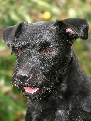 Alfie The Patterland Terrier Patterdale Terrier Lakeland Terrier Hybrid Patterdale Terrier Dog Breeds Terrier Dog Breeds