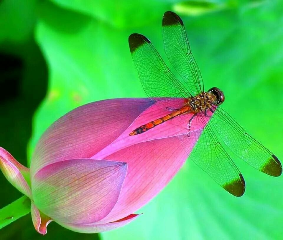 Awesome Dragonfly photography, Dragonfly, Native