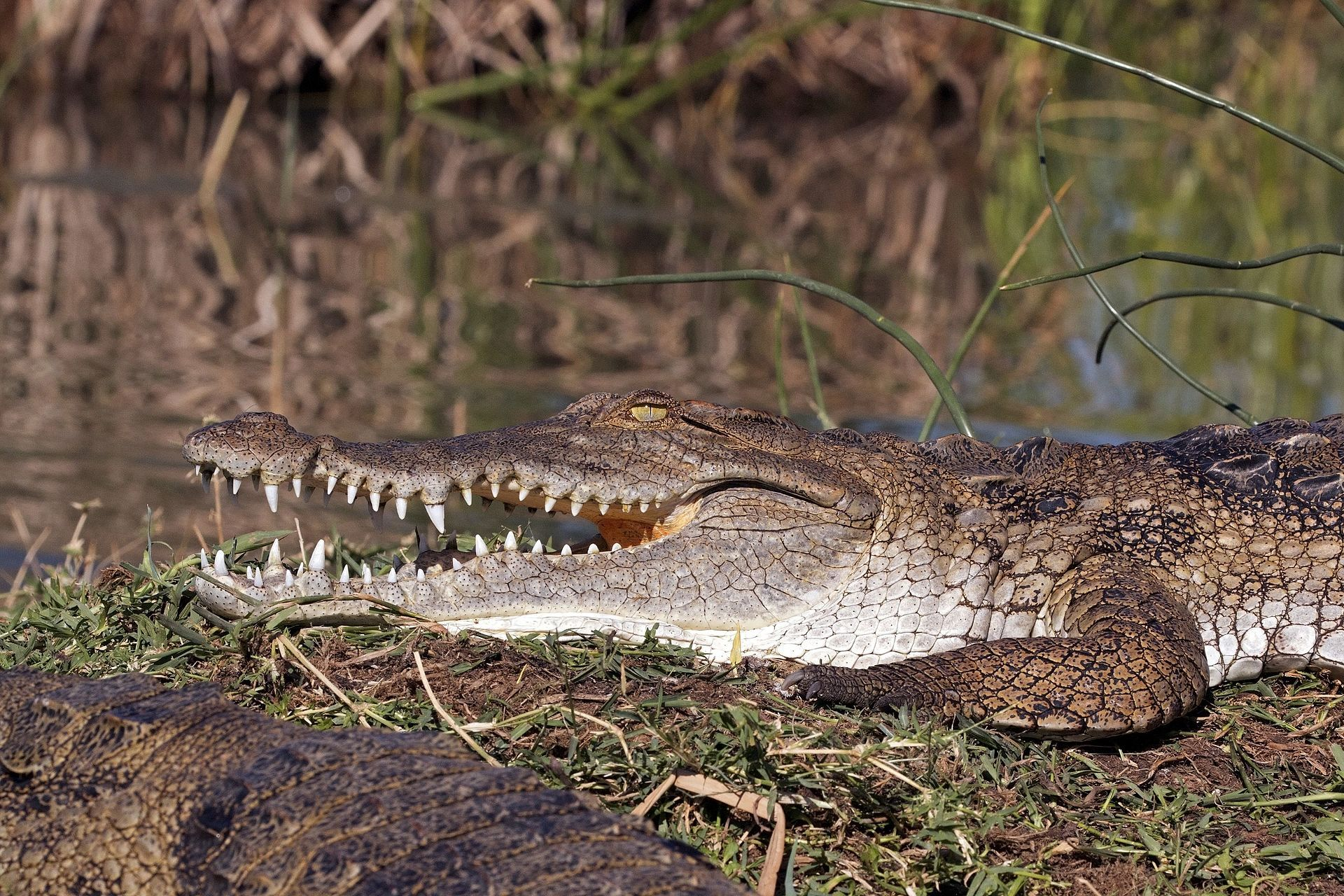 490829c5d252e Kenyan crocodile (Crocodylus niloticus pauciscutatus) - Nile crocodile -  Wikipedia
