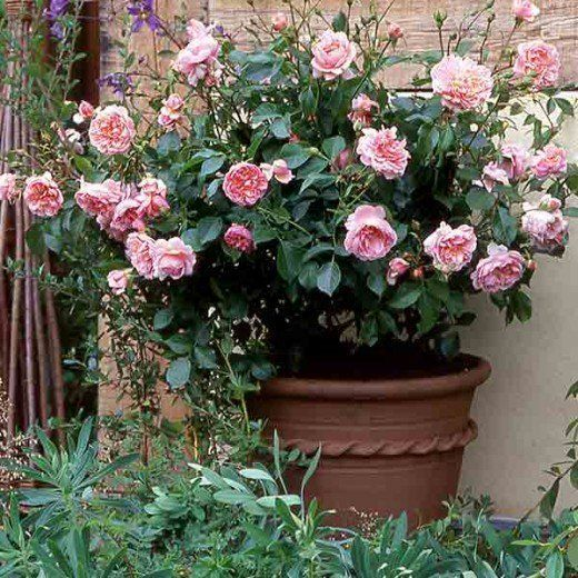 $103.99 · Learn about how to plant and care for rose bushes. Where should a rose bush be planted? What soil is best for growing healthy roses? And how much water and plant food does a rose bush need?