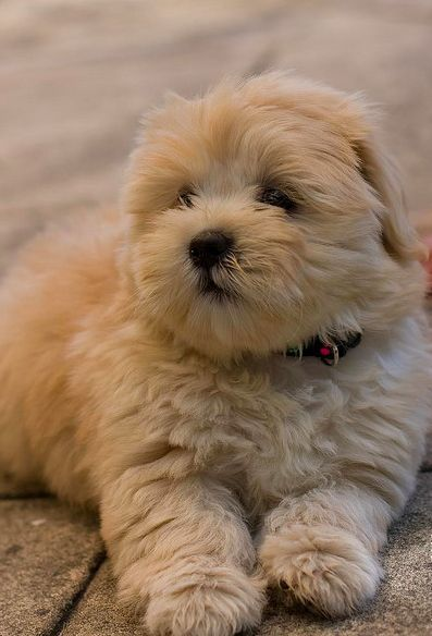 Teddy Bear Shih Tzu Beige Pinterest Puppies Dogs And Lhasa Apso