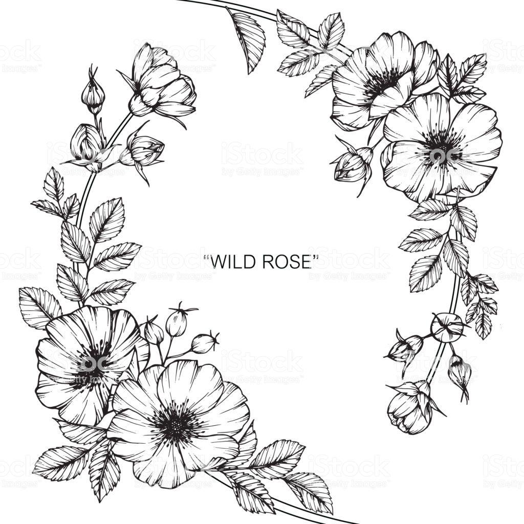 Https Www Istockphoto Com Vector Wild Rose Flower Drawing Gm868437702 144518855 Flower Drawing Design Wild Rose Tattoo Flower Drawing