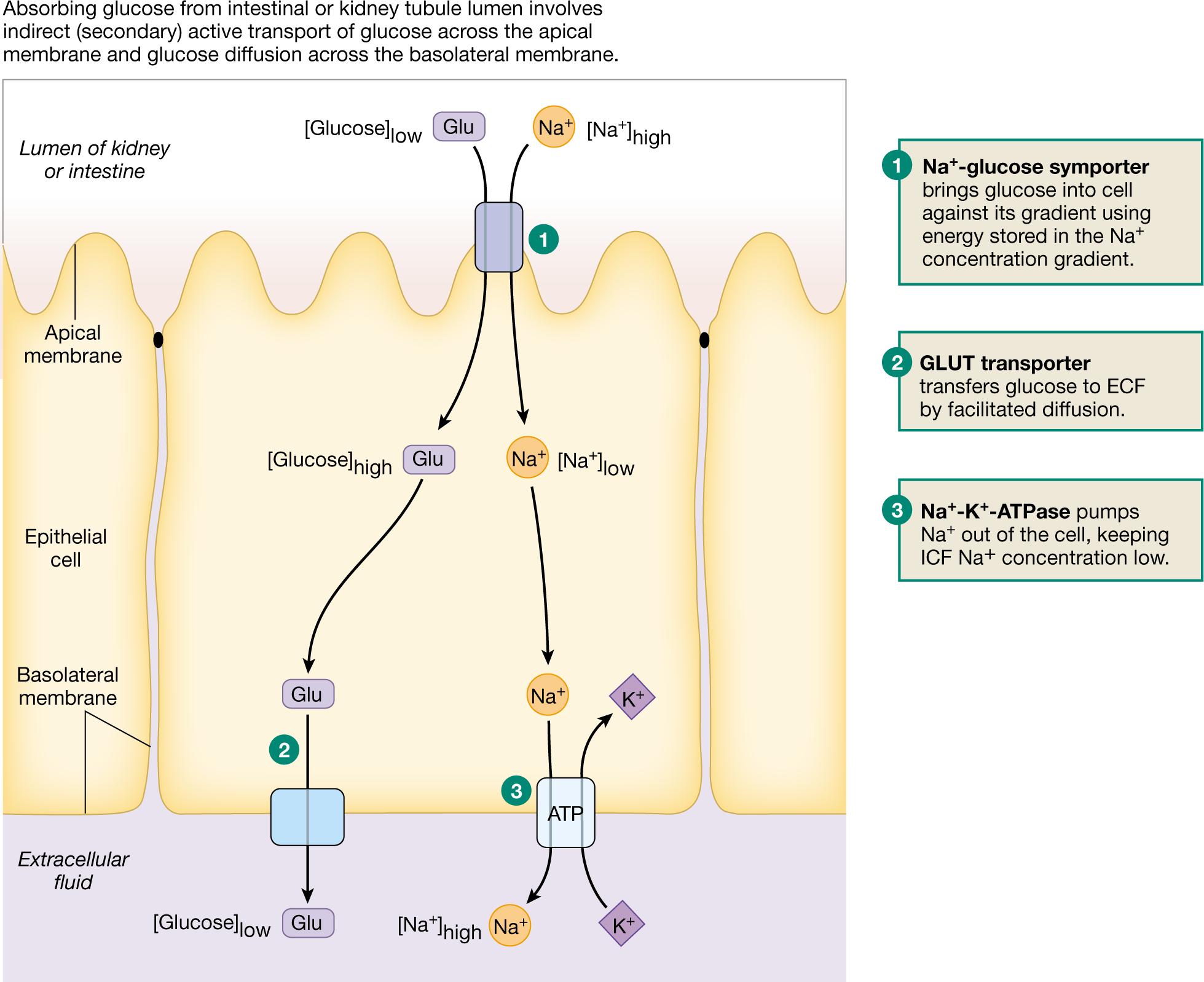 Kidney Tubule Apical Membrane