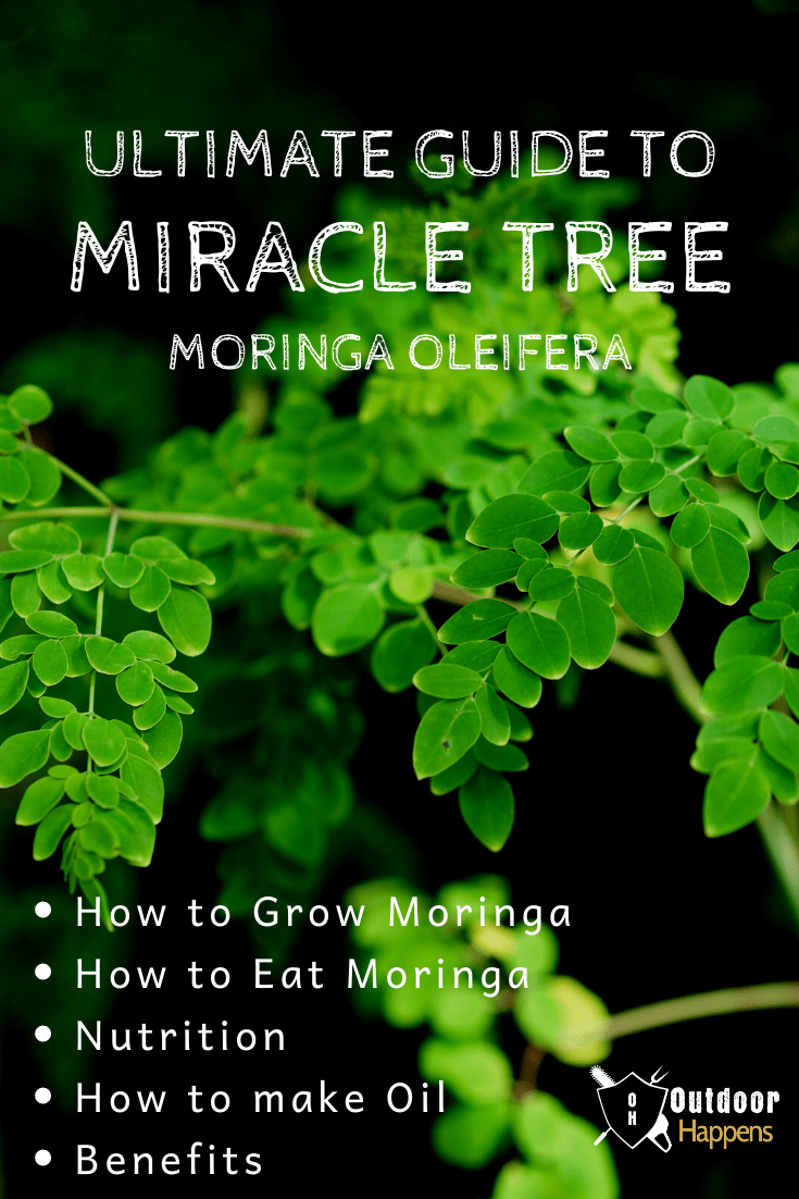 Your Total Guide To Moringa The Miracle Tree How To Grow Moringa Tree How To Eat Moringa Seeds How To Eat The Dr In 2020 Miracle Tree Moringa Moringa Oleifera Tree