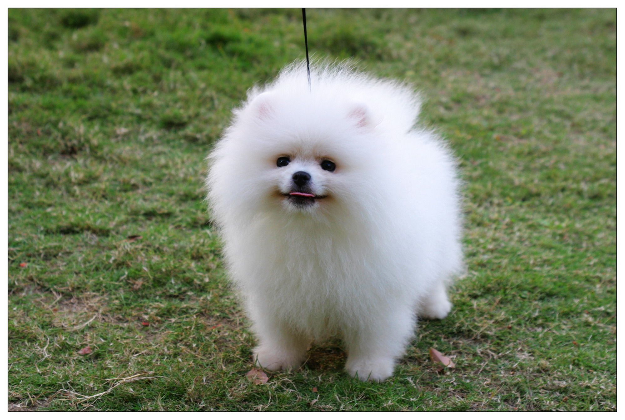 Pomeranian Dog Pomeranian Puppies Pictures Photos Pics Dogs