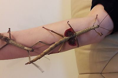 4 X Female Metallic Achrioptera Fallax Stick Insect Nymphs L4 L6