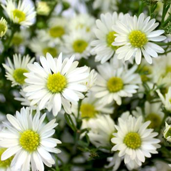 Aster Flowers White Fiftyflowers Com Aster Flower Flowers White Wedding Bouquets