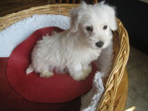 Westie Poo Puppy I Want One Soooo Bad With Images Pet Dogs
