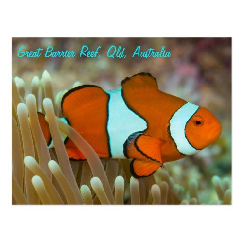 Clownfish On The Great Barrier Reef Postcard Zazzle Com Clown Fish Clownfish And Sea Anemone Great Barrier Reef