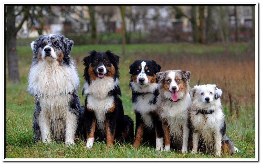 Basic Dog Training Trasedogs Aussie Dogs Australian Shepherd Dogs