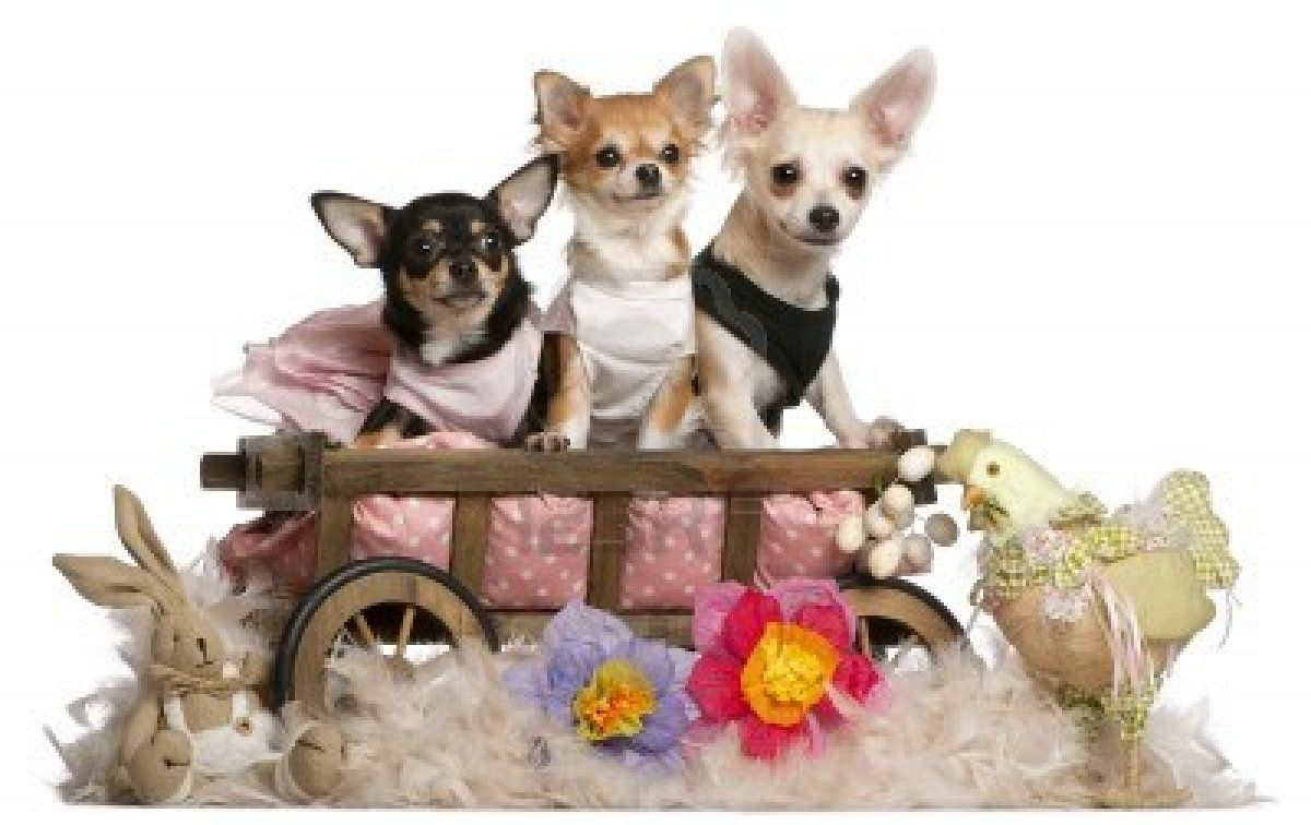 Stock Photo Chihuahua 8 Month Olds 5 Month Olds