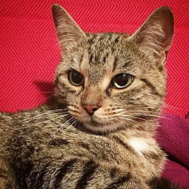 Toronto Cat Rescue On Instagram Come And Adopt Gorgeous Tabby Sabriel At Petsmart Sherway Gardens Adopt A Thon Weekend With Petsmart Cats Tabby Cat Rescue