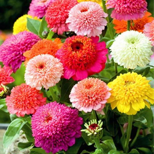 Seeds & Bulbs Home & Garden Frugal 100pcs Zinnia Perennial Flower Seeds Home Garden Plants Multi-color Mix New !!
