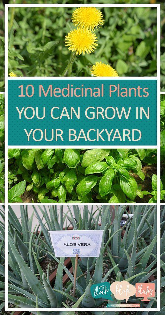 10 Medicinal Plants You Can Grow In Your Backyard Gardening, Medicinal  Plants, Healing Herbs Part 82