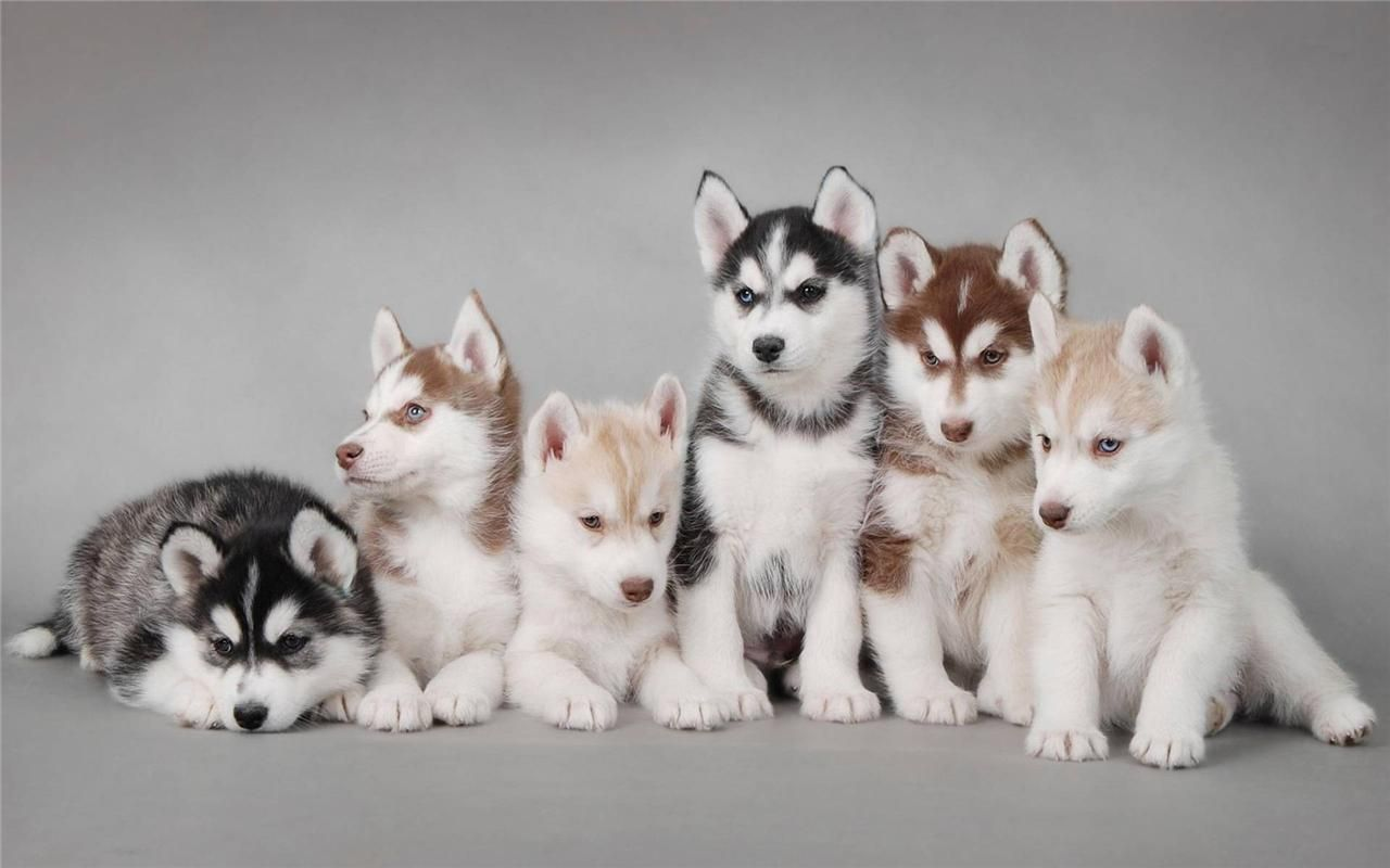 Details About Cute Siberian Husky Puppies Glossy Poster Picture