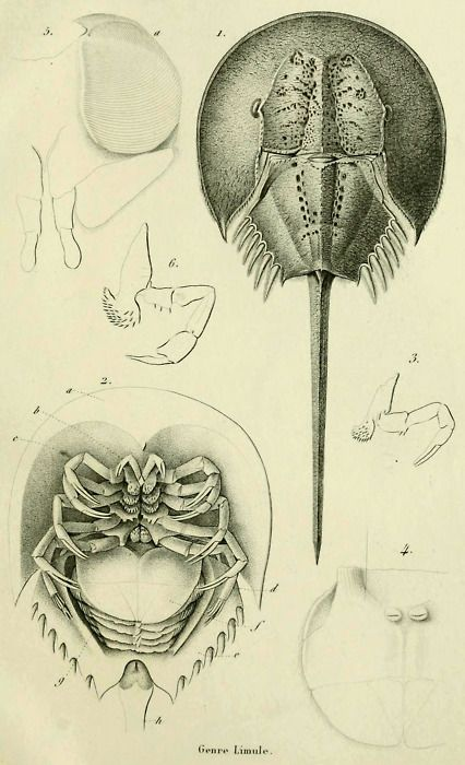 The family Limulidae (Horseshoe crabs) From: \'Histoire naturelle des ...